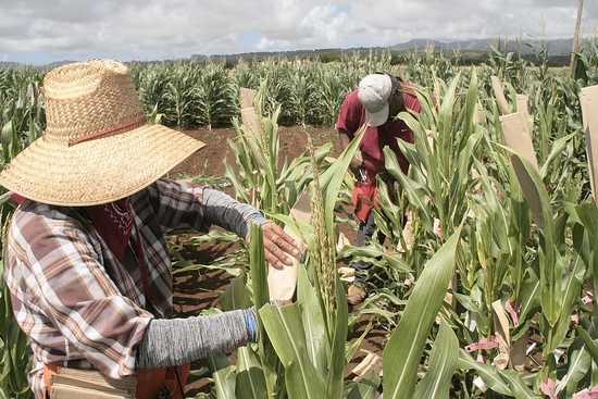 Workers bag tassels of GMO corn to collect pollen in a Syngenta test plot about three miles northwest of Lihue on the island of Kauai in this file photo. The 9th U.S. Circuit Court of Appeals has resolved a lawsuit over a GMO ban in Hawaii's Maui County that has implications for other Western states.