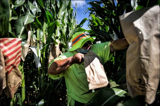 A Monsanto field worker pollinates corn on Molokai. PF Bentley/Civil Beat