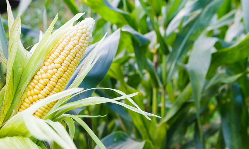 New Paper Justifies Moratorium of GMOs