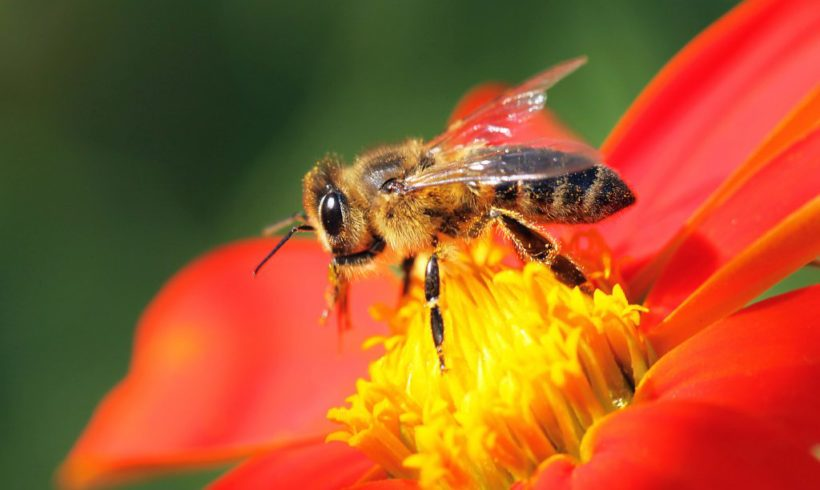 Honeybees are attracted to Fungicides and Pesticides