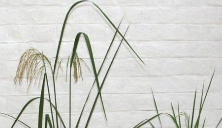 """Goodbye to Golden Rice? GM Trait Leads to Drastic Yield Loss and """"Metabolic Meltdown"""""""