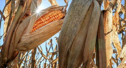 Nebraska farmers to plead guilty in organic grain fraud scheme